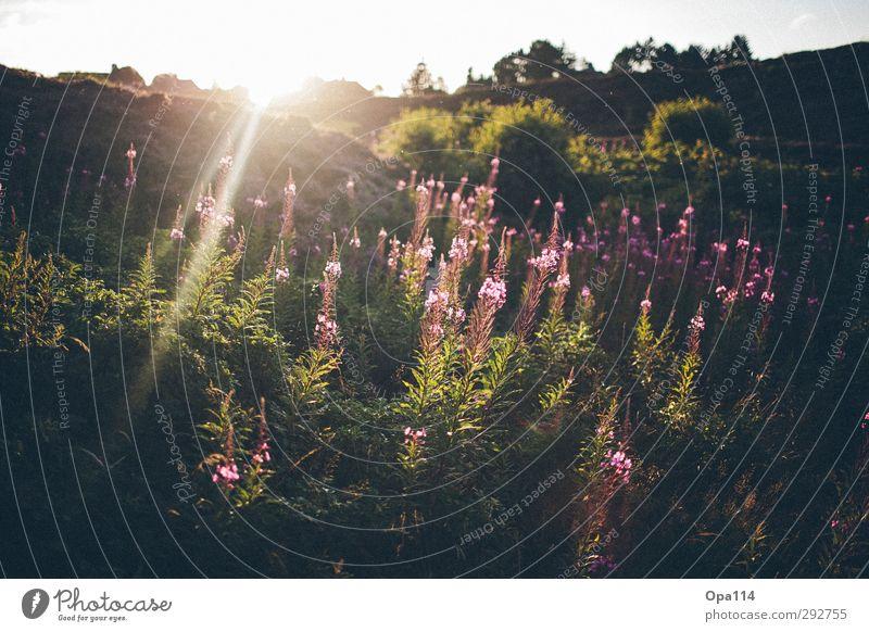Garten Eden Umwelt Natur Landschaft Pflanze Tier Sonne Sonnenaufgang Sonnenuntergang Sommer Schönes Wetter Sträucher Nordsee atmen Blühend träumen frisch