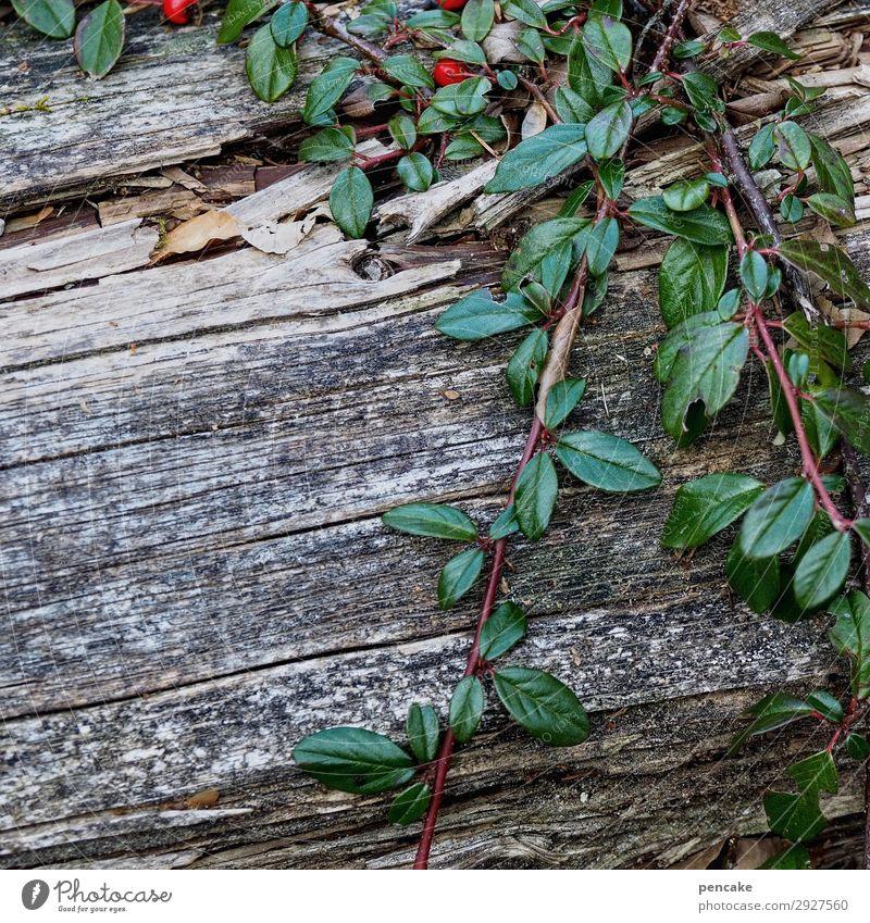 immer grün (2) Natur Pflanze Frühling Wald Berge u. Gebirge natürlich grau Zwergmispel Holz Baumstamm verwittert Ranke Wachstum Überleben Farbfoto Außenaufnahme