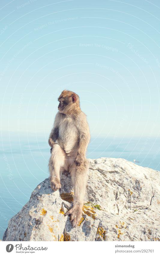 you monkey! Natur Wolkenloser Himmel Horizont Schönes Wetter Meer Tier Affen 1 Blick sitzen Ferien & Urlaub & Reisen Tierporträt Menschenaffen Säugetier Felsen