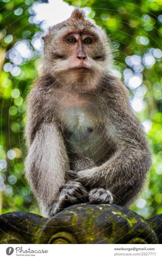 Ein wilder Affe sitzt auf einer Statue. Tourismus Frau Erwachsene Familie & Verwandtschaft Natur Tier Moos Wald Urwald Pelzmantel Stein sitzen niedlich