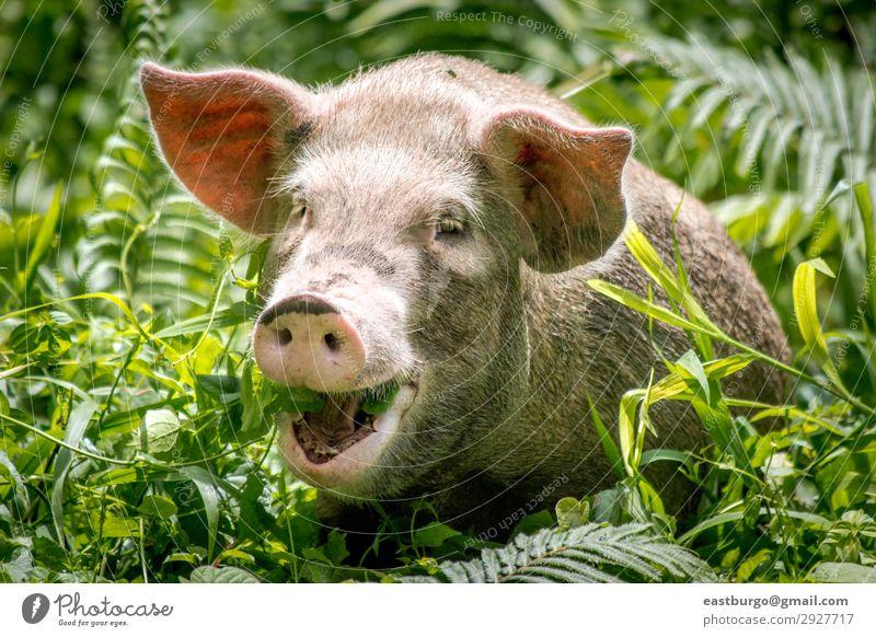 Ein glückliches Schwein in Papua-Neuguinea Fleisch Essen Glück schön Tourismus Insel Natur Tier Urwald Lächeln klein niedlich wild weiß Tradition Bougainville