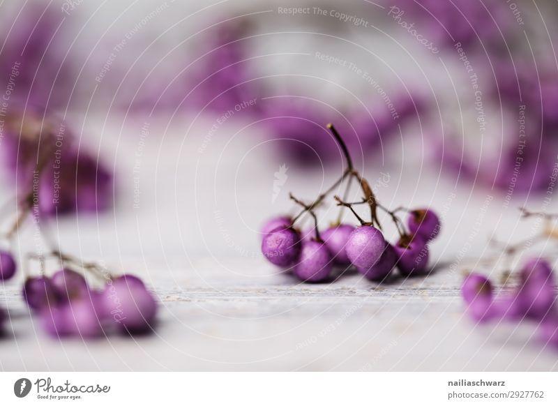 Liebesperlenstrauch Beeren Lifestyle Pflanze Winter Sträucher Grünpflanze Schönfruch lila Beeren frisch natürlich schön grau violett weiß Farbe Kreativität rein