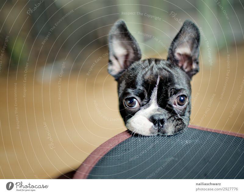 Boston Terrier Welpe Tier Haustier Hund Tiergesicht 1 Tierjunges Decke Hundedecke beobachten Blick Spielen frech lustig Neugier niedlich Freude Begeisterung
