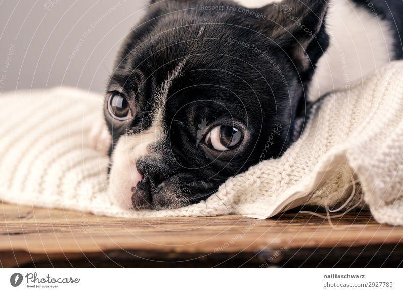 Boston Terrier Welpe Lifestyle Erholung ruhig stricken Tier Haustier Hund Tiergesicht Französische Bulldogge 1 Tierjunges Decke Strickdecke beobachten liegen