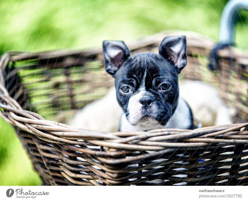 Boston Terrier Welpe macht Ausflug Lifestyle Ferien & Urlaub & Reisen Abenteuer Umwelt Park Fahrrad Fahrradkorb Tier Haustier Hund Tiergesicht