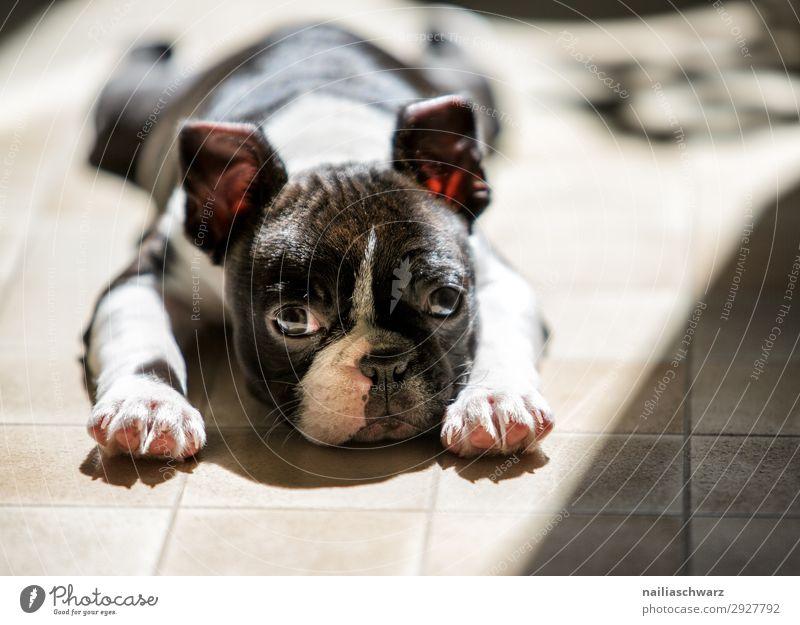 Boston Terrier Welpe sonnt sich Tier Haustier Hund Tiergesicht 1 Tierjunges Bodenbelag beobachten Erholung liegen frech listig natürlich Neugier niedlich