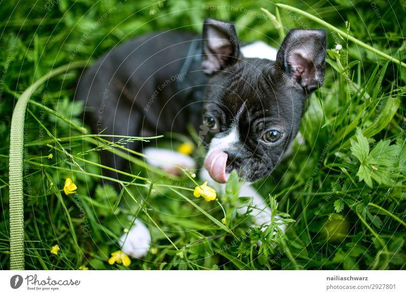 Boston Terrier Welpe Freizeit & Hobby Ausflug Abenteuer Umwelt Natur Frühling Schönes Wetter Blume Gras Garten Park Wiese Tier Haustier Hund 1 Tierjunges