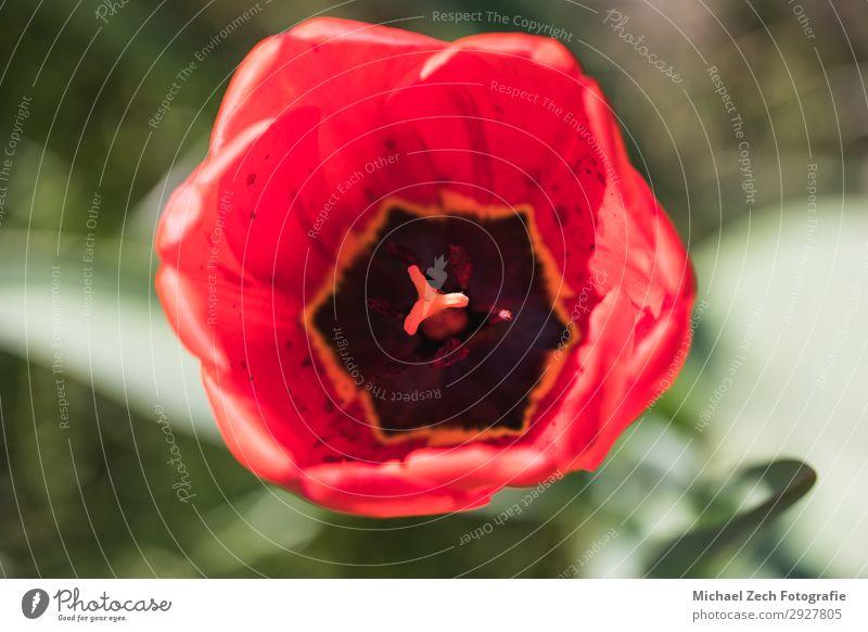 Makroaufnahme einer roten Tulpenblume in einem Garten schön Sommer Ostern Natur Pflanze Blume Blatt Blüte Blumenstrauß Liebe frisch hell natürlich gelb grün