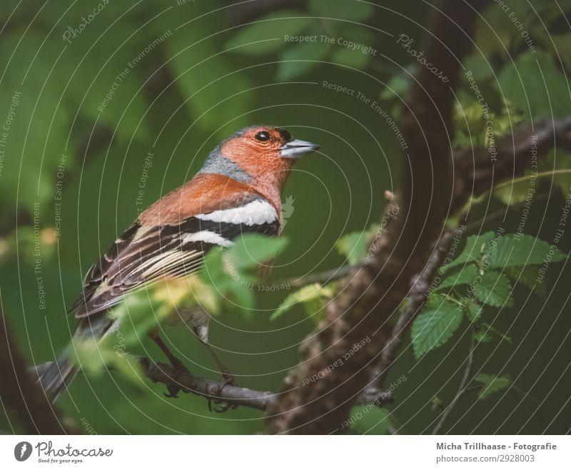 Buchfink in der Dämmerung Natur Tier Sonnenlicht Schönes Wetter Baum Blatt Zweige u. Äste Wildtier Vogel Tiergesicht Flügel Krallen Fink Schnabel Auge Feder