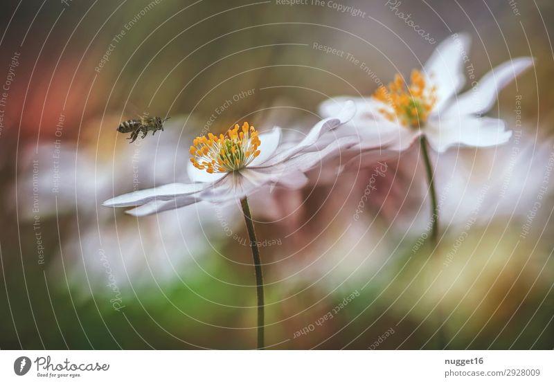 Anemonen mit Biene Natur Sommer Pflanze weiß Blume Tier Blatt Herbst Umwelt Blüte Frühling Wiese Garten orange Park Feld