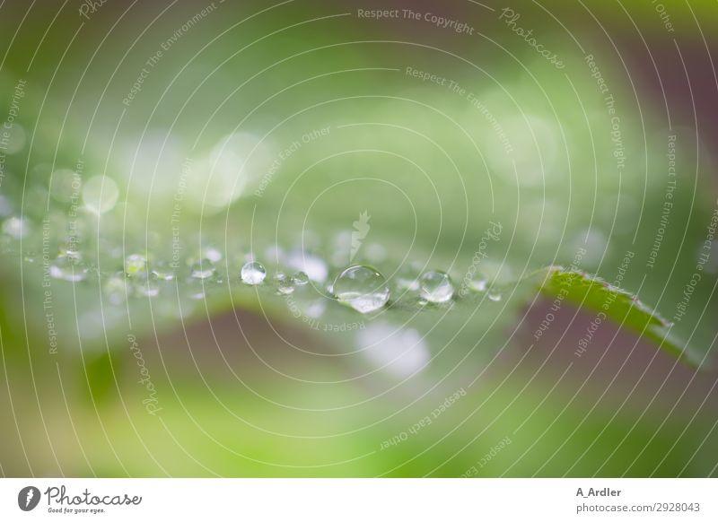 Frauenmantel mit Wassertropfen Umwelt Natur Pflanze Frühling Sommer Blatt Grünpflanze Wildpflanze Garten Park schön grün Gefühle Stimmung Erholung Botanik