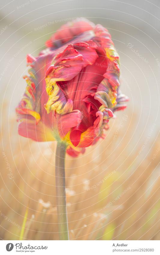 Papageien oder auch Regenbogen Tulpe Natur Sommer Pflanze schön Landschaft rot Blume gelb Blüte Frühling Wiese Gras Garten außergewöhnlich Park frisch