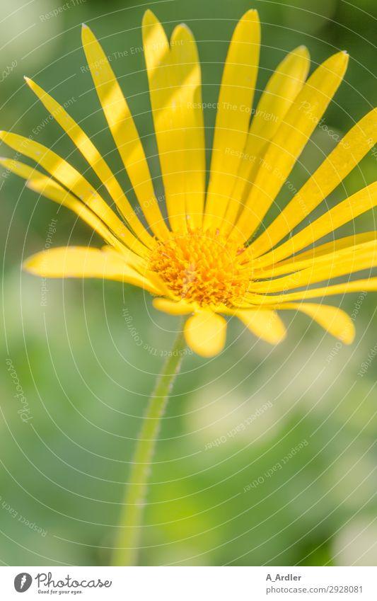 Gelbe Margerite Natur Sommer Pflanze schön grün gelb Blüte Frühling Garten Park leuchten ästhetisch Lebensfreude Schönes Wetter Frieden Duft