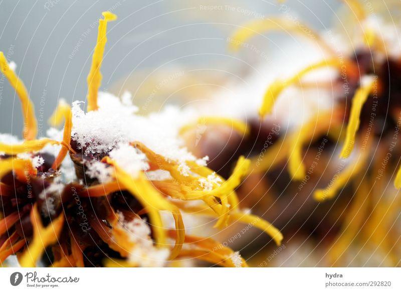 Sonderling Alternativmedizin Medikament Garten Winter Schnee Pflanze Sträucher Blüte Viriginische Zaubernuss Hamamelis virginiana Blühend frieren leuchten kalt