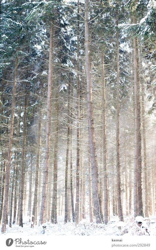 Nadelwald Umwelt Natur Landschaft Pflanze Winter Schönes Wetter Eis Frost Schnee Baum Fichte Fichtenwald Nadelbaum Wald Wachstum hell hoch kalt eng viele dünn