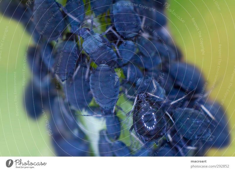 blattläuse Tier Insekt Blattläuse Laus Schädlinge blau Makroaufnahme Nahaufnahme Schutz Stengel Natur natürlich grün