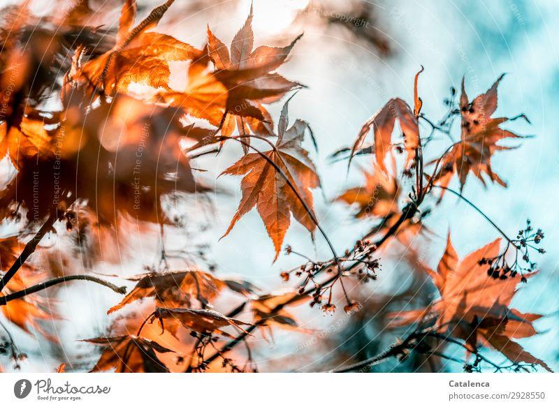 Roter Fächerahorn Natur Pflanze Himmel Frühling Schönes Wetter Baum Blatt Blüte Ast Zweig Ahornblatt Japanischer Ahorn Garten Park hängen authentisch schön grau