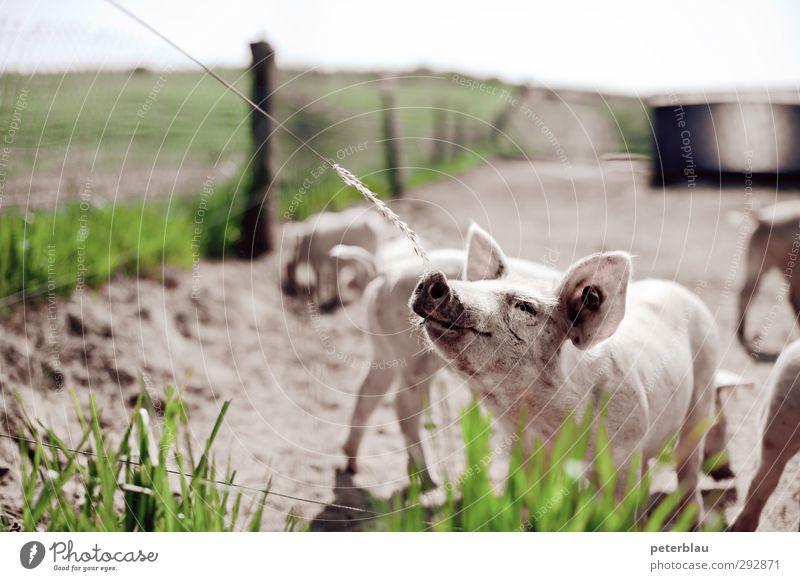 Schwein haben Tier Tiergruppe Herde Tierjunges Fressen füttern dreckig frech Neugier niedlich grün rosa Tierliebe Appetit & Hunger Schweinerei Ferkel schön
