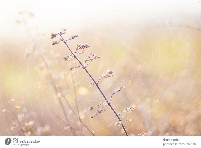 Herbes Natur schön Pflanze gelb Wiese hell gold Sträucher Kräuter & Gewürze Unkraut Kräuterwiese