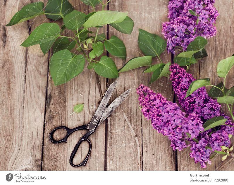 Flieder Lifestyle Innenarchitektur Dekoration & Verzierung Pflanze Baum Blatt Blüte schön grün violett Schere Fliederbusch Fliederblatt Blumenstrauß Ikebana