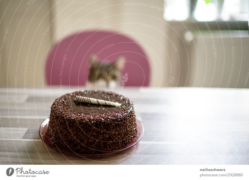 Kuchen & Katze Lebensmittel Dessert Süßwaren Torte Ernährung Freude Häusliches Leben Wohnung Geburtstag Tier Haustier 1 Feste & Feiern Blick warten lecker süß