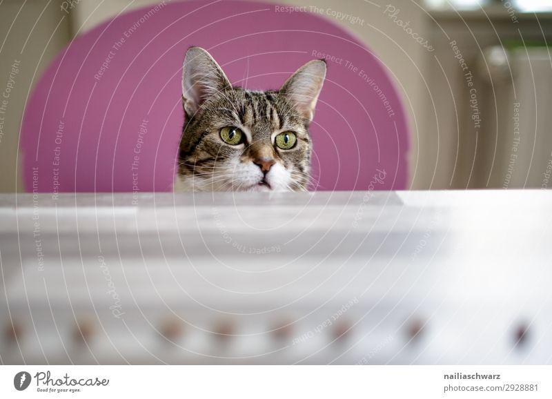 Katze Freude Tier Haustier Tiergesicht 1 Stuhl Tisch beobachten Kommunizieren Blick warten frech schön lustig natürlich niedlich weich braun rosa weiß Sympathie