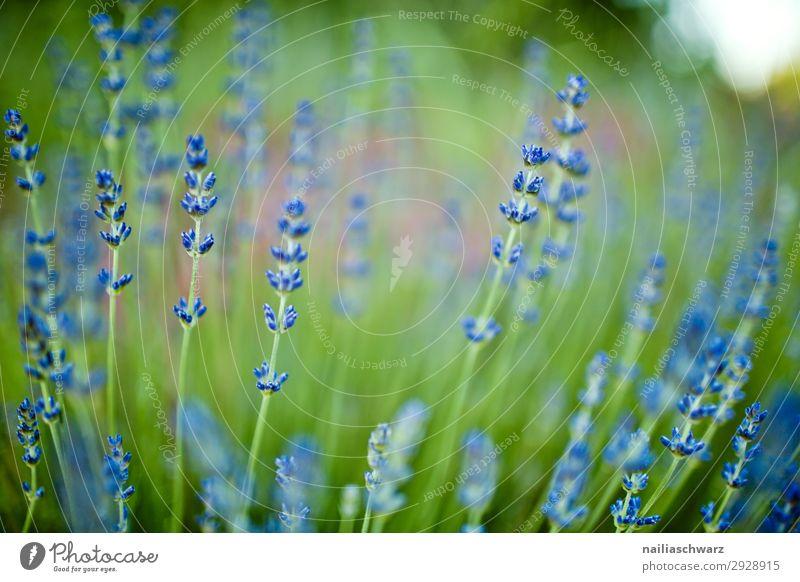 Lavender Sommer Umwelt Natur Landschaft Pflanze Blume Nutzpflanze Lavendel Garten Park Wiese Blühend Duft Wachstum frisch natürlich schön grün violett