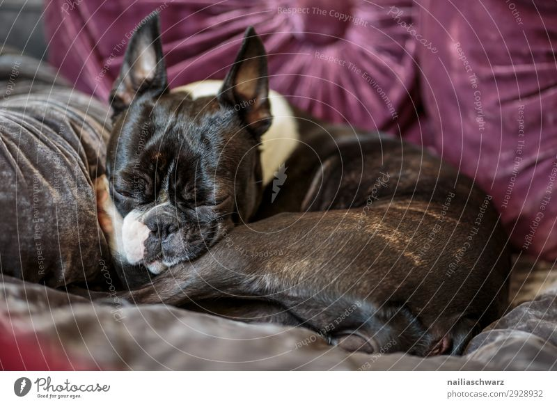 Pause Lifestyle Erholung ruhig Häusliches Leben Wohnung Wohnzimmer Schlafzimmer Tier Haustier Hund französische Bulldogge Boston Terrier 1 Sofa Kissen liegen