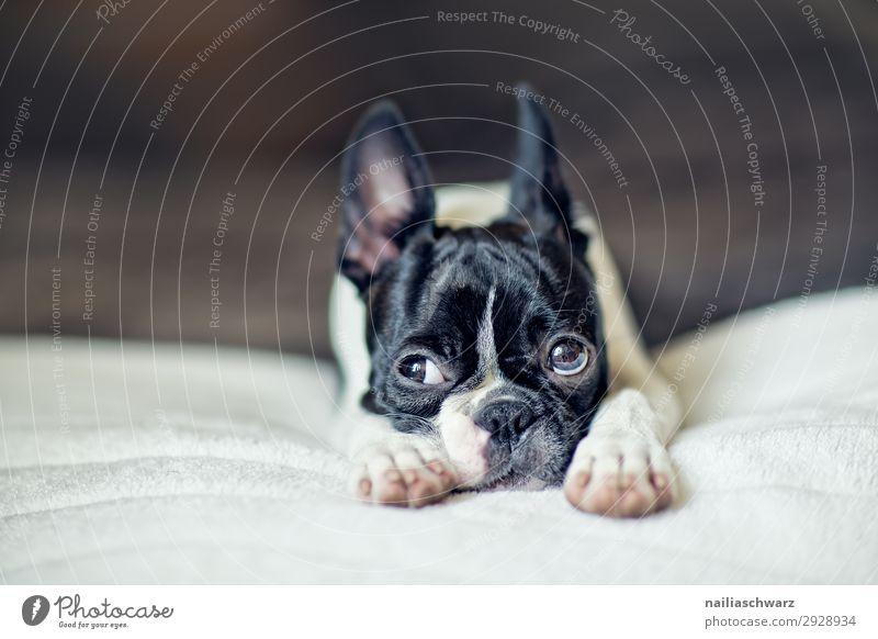 Boston Terrier Puppy Hund Erholung Tier ruhig Freude Tierjunges Stil liegen Idylle niedlich beobachten Neugier Sehnsucht Haustier Müdigkeit Decke