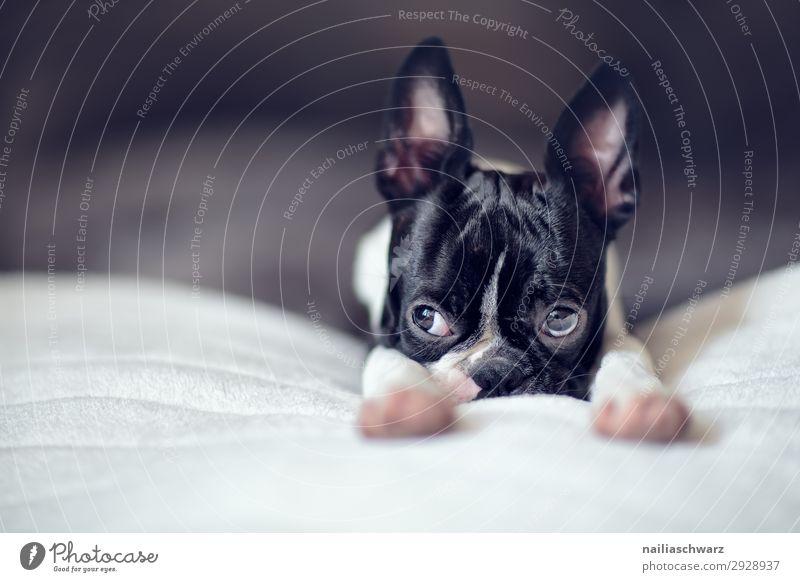 Boston Terrier Welpe Hund Erholung Tier Freude Tierjunges Lifestyle Traurigkeit Stil Häusliches Leben Wohnung Zufriedenheit träumen liegen Idylle Fröhlichkeit