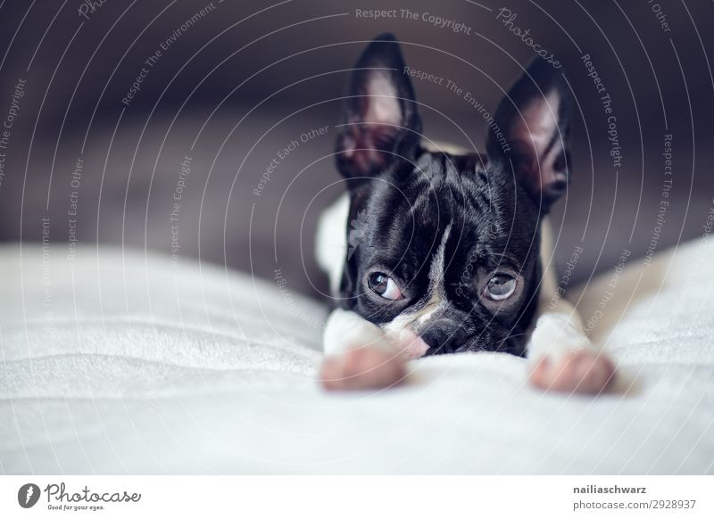 Boston Terrier Welpe Lifestyle Stil Freude Häusliches Leben Wohnung Bett Tier Haustier Hund französische Bulldogge 1 Tierjunges Decke beobachten Erholung liegen