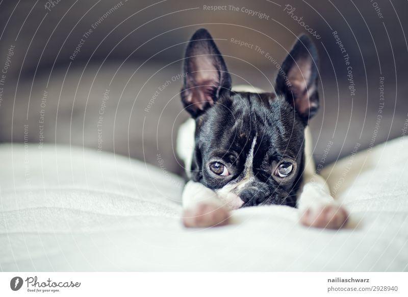Boston Terrier Welpe Stil Freude Erholung ruhig Wohnung Tier Haustier Hund Tiergesicht französische Bulldogge 1 Decke genießen schlafen frech klein lustig