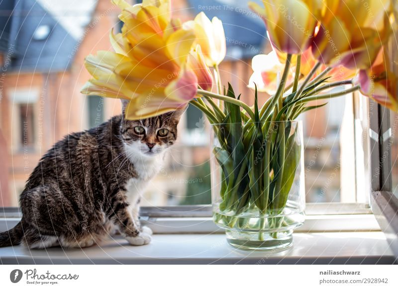 Katze am Fenster Lifestyle Tulpe Haus Fassade Tier Haustier 1 Blume Blumenstrauß Vase beobachten Blick sitzen warten einzigartig natürlich Neugier niedlich