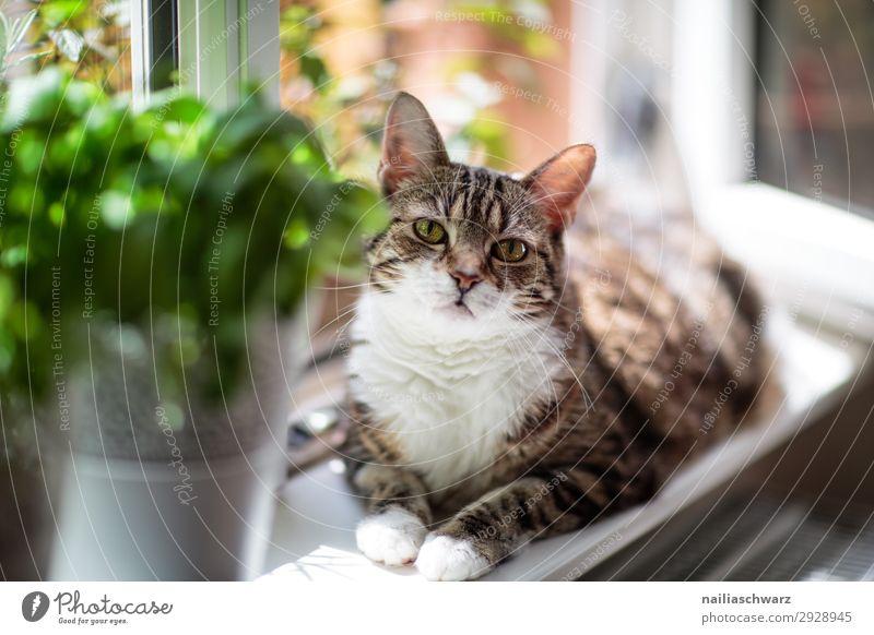 Katze am Fenster Tulpe Tier Haustier 1 beobachten Erholung genießen Blick warten schön lustig Neugier niedlich weich braun grün Glück Zufriedenheit Lebensfreude