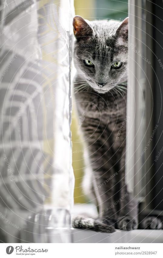 Katze am Fenster elegant Wohnung Tier Haustier Fell russisch blau 1 Gardine beobachten Blick sitzen warten Coolness niedlich schön grau Zufriedenheit Neugier