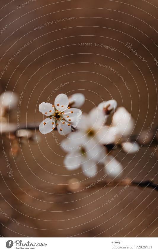 Birnbaum Blüten Umwelt Natur Pflanze Frühling Blume Blütenknospen braun weiß Blühend Farbfoto Gedeckte Farben Außenaufnahme Nahaufnahme Detailaufnahme