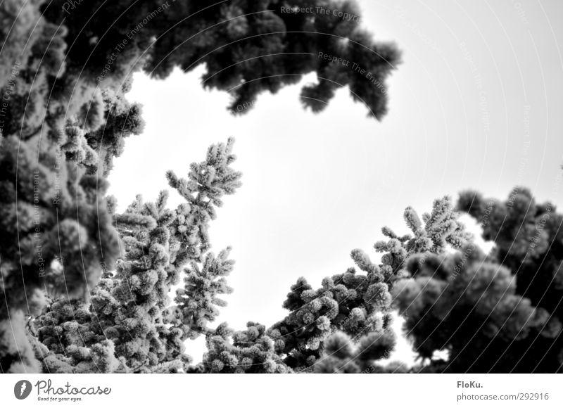 vereiste Tanne Umwelt Natur Pflanze Himmel Wolken Winter schlechtes Wetter Eis Frost Schnee Baum kalt grau weiß Nadelbaum Winterstimmung Winterwald