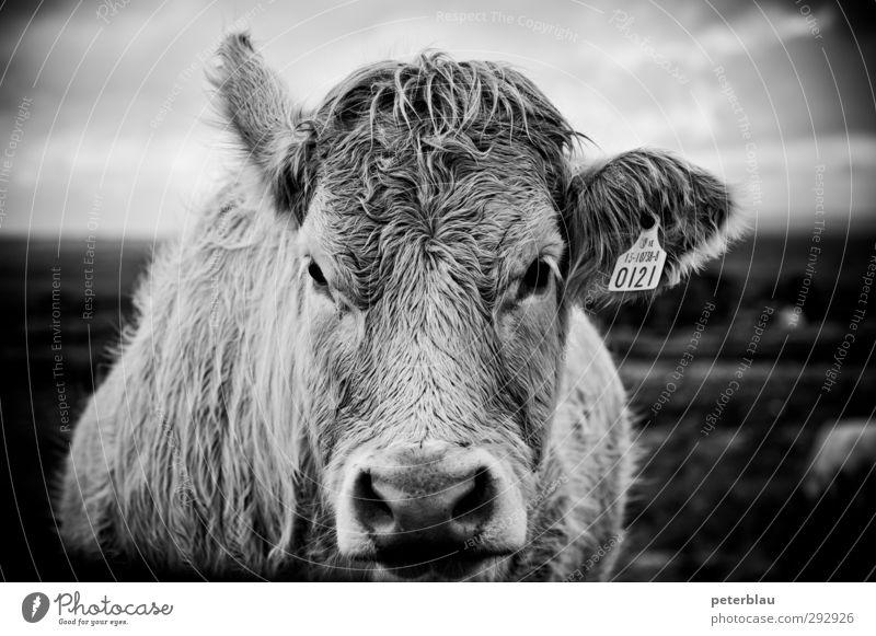 Cow mir in die Augen, Kleines. Tier Kuh 1 dick groß natürlich Blick Schwarzweißfoto Außenaufnahme Menschenleer Tag Schwache Tiefenschärfe Porträt Tierporträt