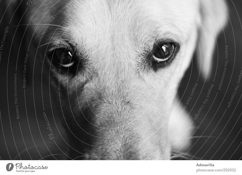 Kein Dackelblick Tier Haustier Hund Tiergesicht 1 ruhig Schwarzweißfoto Innenaufnahme Nahaufnahme Menschenleer Textfreiraum links Textfreiraum rechts Tag