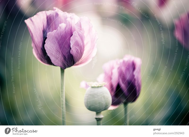 Heroinblümchen Natur Pflanze Umwelt Blüte violett Mohn Nutzpflanze Wildpflanze Mohnfeld Mohnblüte Schlafmohn Mohnkapsel