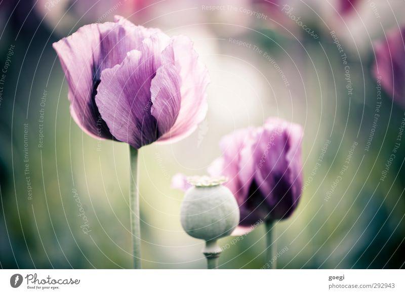 Heroinblümchen Umwelt Natur Pflanze Blüte Nutzpflanze Wildpflanze Mohn Mohnblüte Mohnfeld Mohnkapsel Schlafmohn violett Opium Rohopium Farbfoto Außenaufnahme