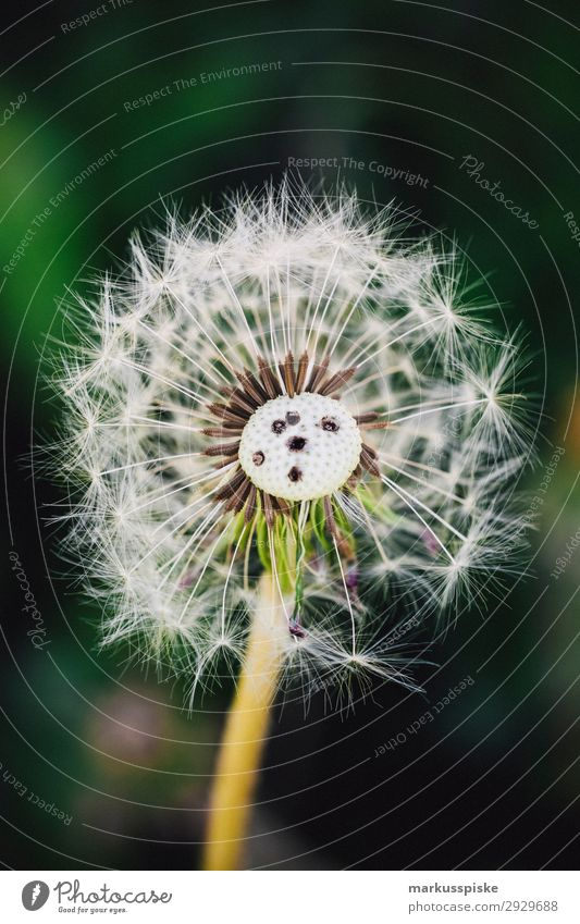 dandelions macro close up elegant Leben Sommer Natur Pflanze Wärme Blumenstrauß springen ästhetisch authentisch Duft Lebensfreude Frühlingsgefühle Fragility