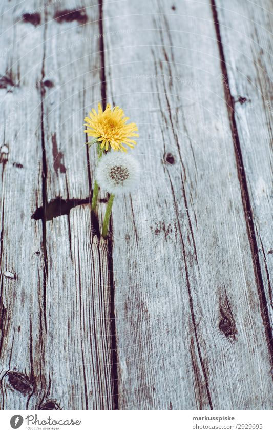 dandelions macro close up Natur Sommer Pflanze Leben Wärme springen elegant planen Blumenstrauß Duft Vorfreude Pollen Frühlingsgefühle Cannabis