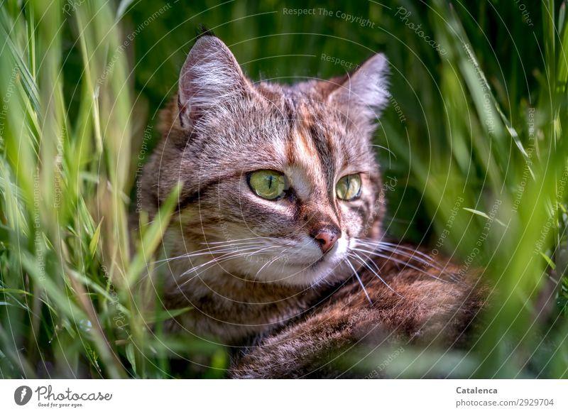 Im Gras Natur Pflanze Tier Frühling Blatt Grünpflanze Garten Wiese Haustier Nutztier Katze Tiegerkatze 1 beobachten liegen schön klein braun grün orange