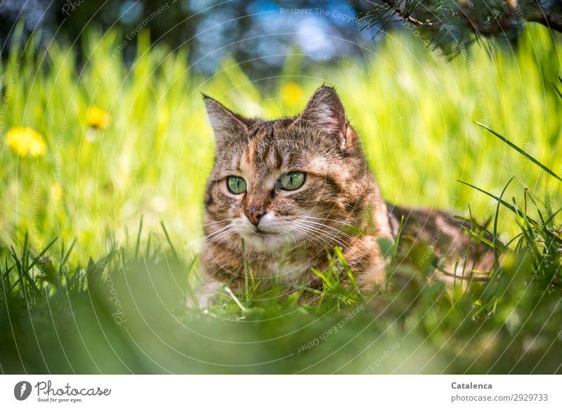 herausragend | Katzenkopf im hohem Gras Natur Pflanze Tier Himmel Frühling Schönes Wetter Blume Blatt Blüte Löwenzahn Garten Wiese Haustier 1 beobachten liegen