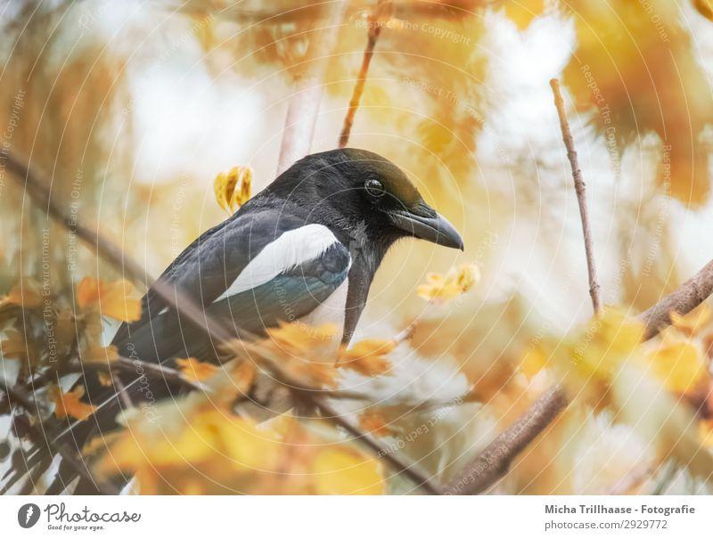 Elster im Herbstlaub Natur schön weiß Baum Tier Blatt schwarz gelb Auge natürlich orange Vogel leuchten glänzend Wildtier