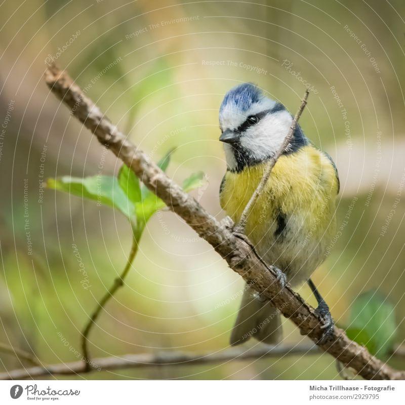 Neugierige Blaumeise Natur blau grün weiß Baum Tier Blatt schwarz gelb Auge natürlich Vogel leuchten Wildtier Feder Schönes Wetter