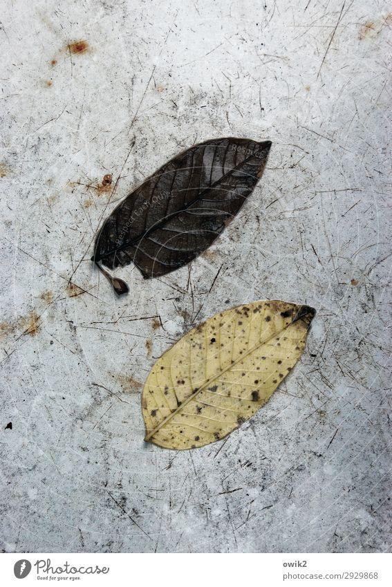 Pattsituation Umwelt Natur Herbst Blatt alt liegen dehydrieren Zusammensein trist trocken unten Verfall Vergänglichkeit 2 paarweise gegenüber parallel Farbfoto