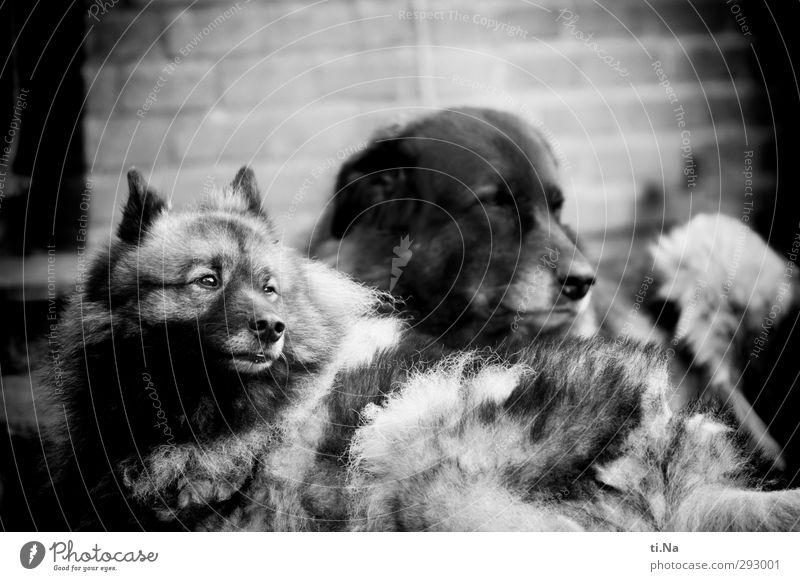 Hot Love | Rudel Trubel Garten Haus Mauer Wand Haustier Hund Wolfsspitz Estrela 2 Tier Tiergruppe Tierpaar liegen warten nah feminin grau schwarz weiß Tierliebe