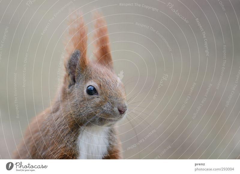 HOT LOVE   verliebtes Hörnchen Natur Tier Umwelt grau Kopf braun Wildtier Eichhörnchen Nagetiere
